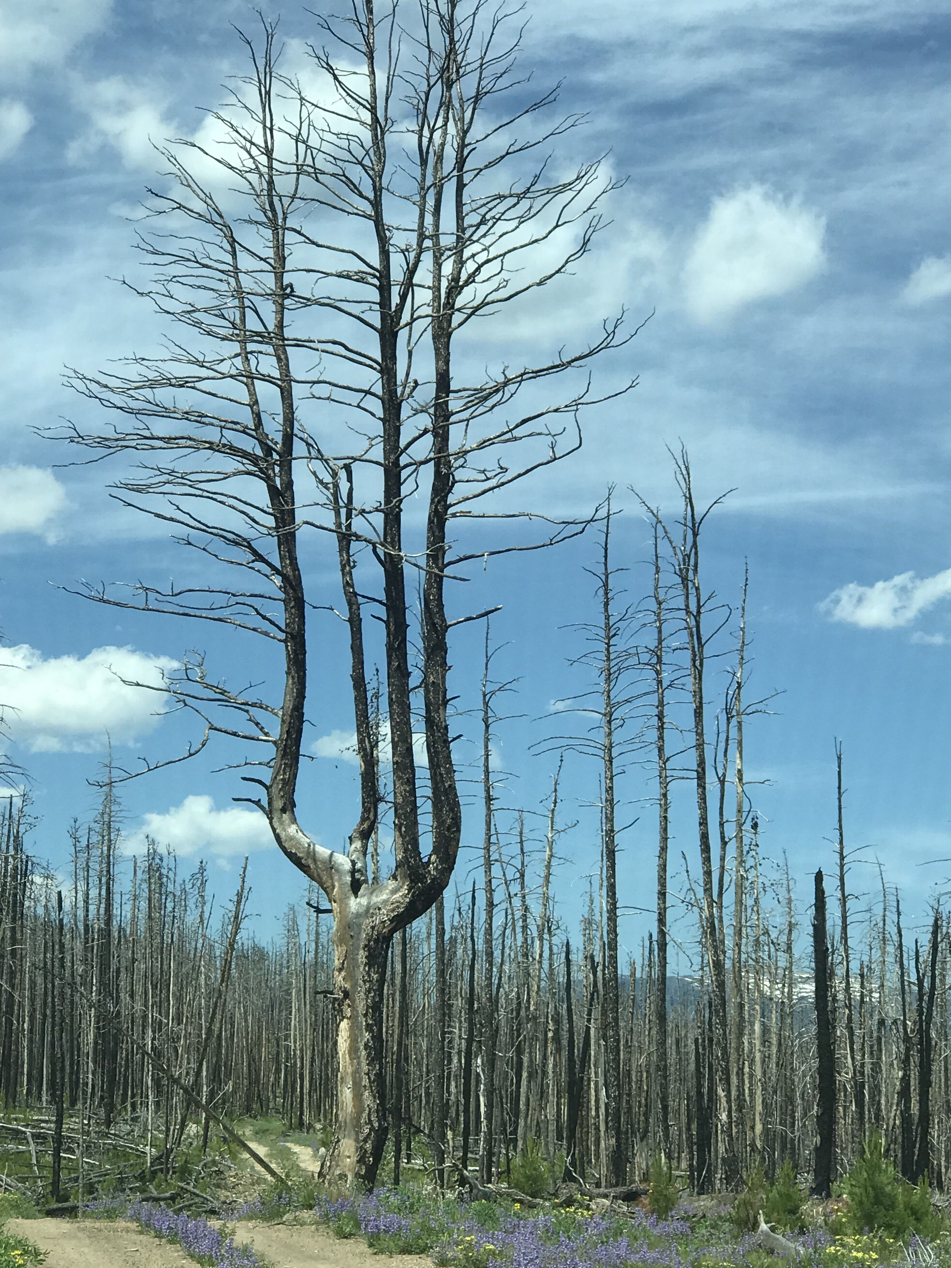 Off-Road Report: Old Flowers Road, Bellvue, Colorado-2013-rrs-old-flowers-burnt-tree.jpg